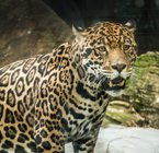 UHV gets real-life jaguar mascot